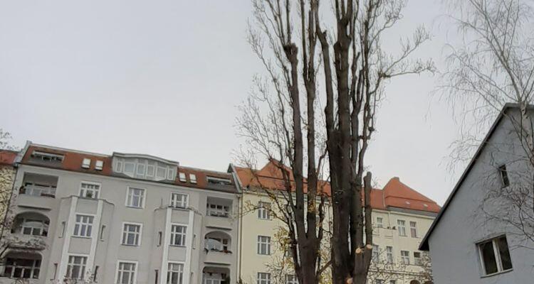 Kahle Pyramidenpappel in einem Wohngebiet von Berlin.